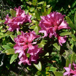 Faune et flore de Belledonne