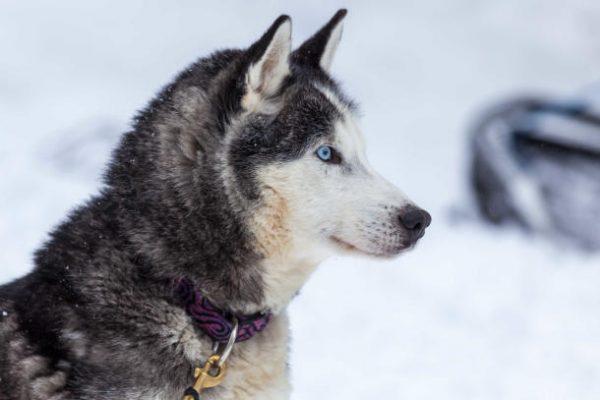 Chien nordique - Cani rando