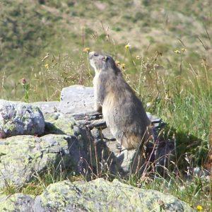 Marmottes à Montsapey
