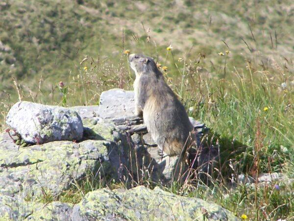 Marmotte en Belledonne