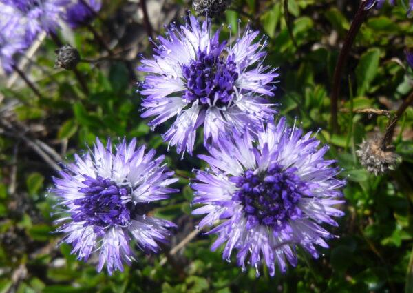 Flore de Belledonne